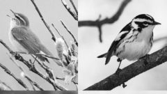 warblers in black and white