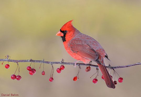 Why So Red Mr Cardinal Nestwatch Explains All About Birds