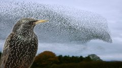 How Do Starling Flocks Create Those Mesmerizing Murmurations?