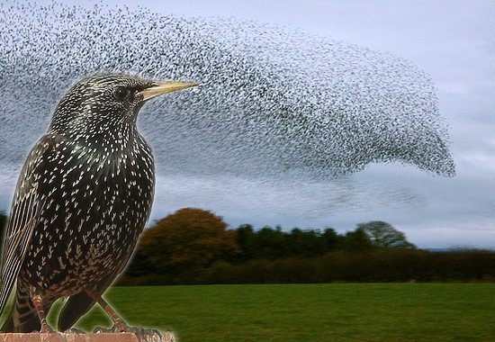 starling and murmuration - collage