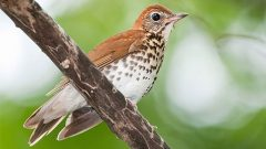WOod Thrush by Kelly COlgan Azar via Birdshare