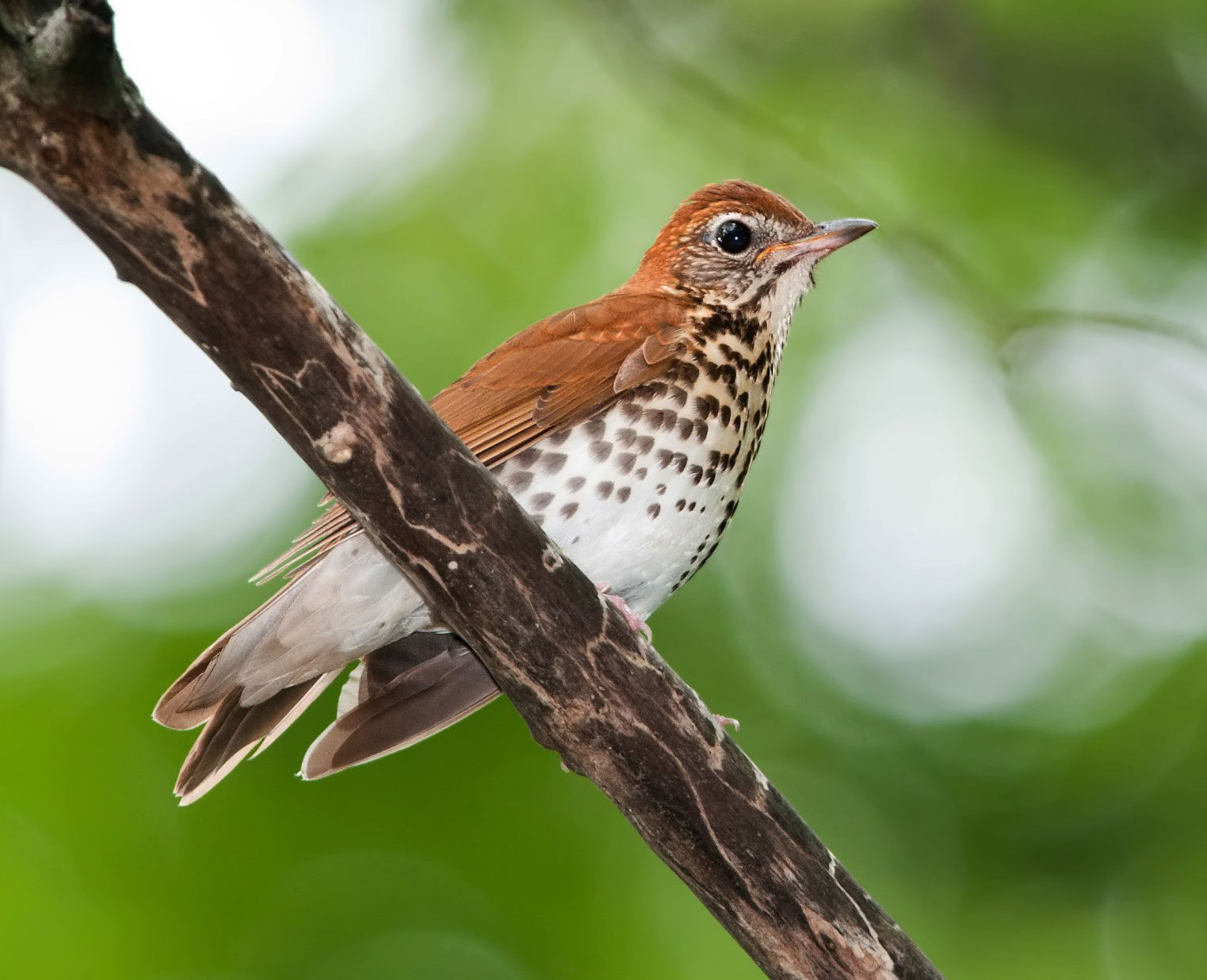 WOod Thrush often seento disappear during the summer. Photo by Kelly Colgan Azar via Birdshare.
