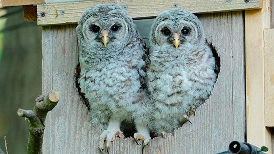 Barred Owls about to start branching on the Birdcams Barred Owl cam, 2014