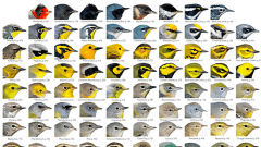Multiple images of the heads of various warbler species.