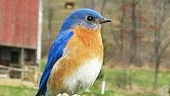 Build a Nest Box for Eastern Bluebirds