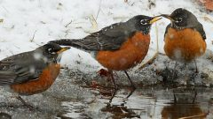 A group of American Robins in the winter. Photo by hpaich via Birdshare.