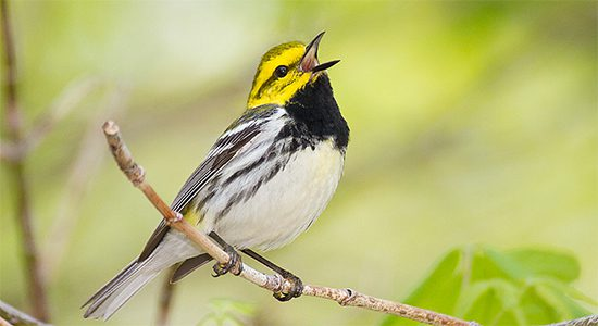 Black-throated Green Warbler sings