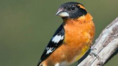 Black-headed Grosbeak by Steve Zamek via Birdshare