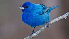 A gorgeous Indigo Bunting. Photo by Carlos Escamilla via Birdshare.