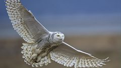 Project SNOWstorm Seizes the Moment to Take a Closer Look at Snowy Owls