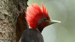 A Helmeted Woodpecker at its nest hole. Photos by Martjan Lammertink
