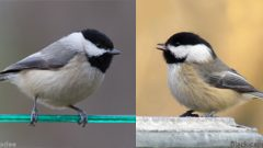 Carolina Chickadee (left) and Black-capped Chickadee
