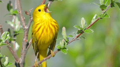 When Will Yellow Warblers Return? Check Our Animated Map