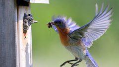 eastern bluebird feeding a nestling