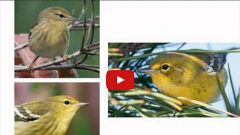 warbler id tips video