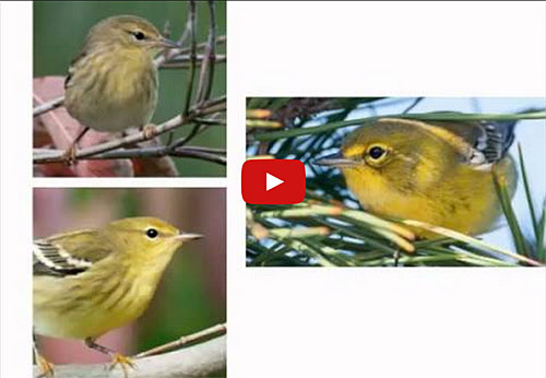 The Backyard Birdsong Guide Our Review All About Birds