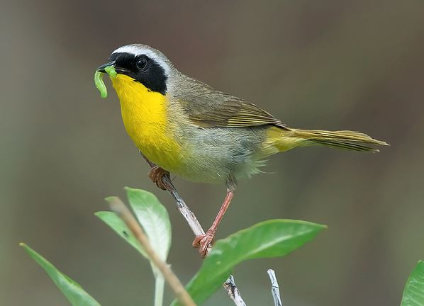 Common Yellowthroat by Keith Williams via Birdshare