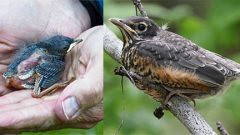 Images via Birdshare: Anne Elliot, left; Central Jersey Wildlife, right. Nestlings (left) are mostly featherless and helpless birds that should be returned to their nests, if possible. Fledglings (right) are mobile and well-feathered. Their parents are likely nearby and they rarely need help.