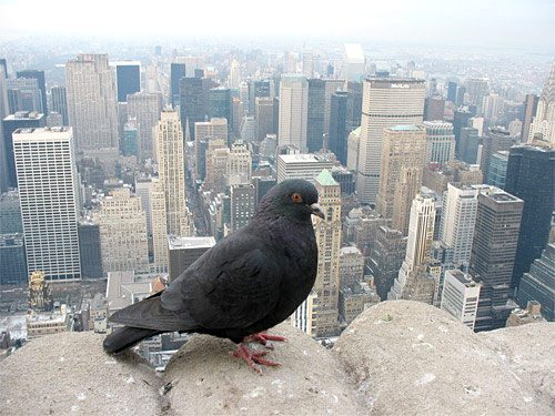A feral Rock Pigeon perches on a building overlooking Manhattan. These birds have spread worldwide alongside humans. Photo by Zac Peterson/GBBC2007.