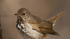 ID Workshop: Use 4 Basic Keys Plus Migration Timing to Sort Out Your Thrushes