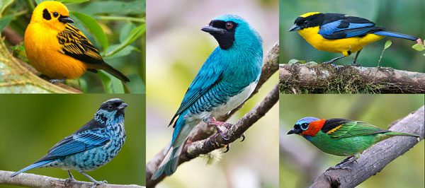 tanager photos colorful birds
