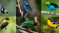 beautiful colorful photos of tropical tanager songbirds
