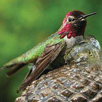 Anna's Hummingbird by Nancy Starczyk.