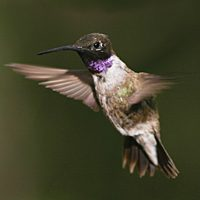 Black-chinned Hummingbird by Brian Sullivan.