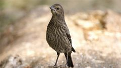 Identify the Brown, Streaky, Juvenile Songbirds of Summer With These Tips