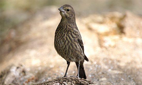 brown, streaky mystery bird