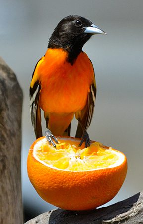 baltimore oriole on an orange feeder