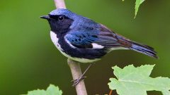 Black-throated Blue Warbler by Glenn Bartley