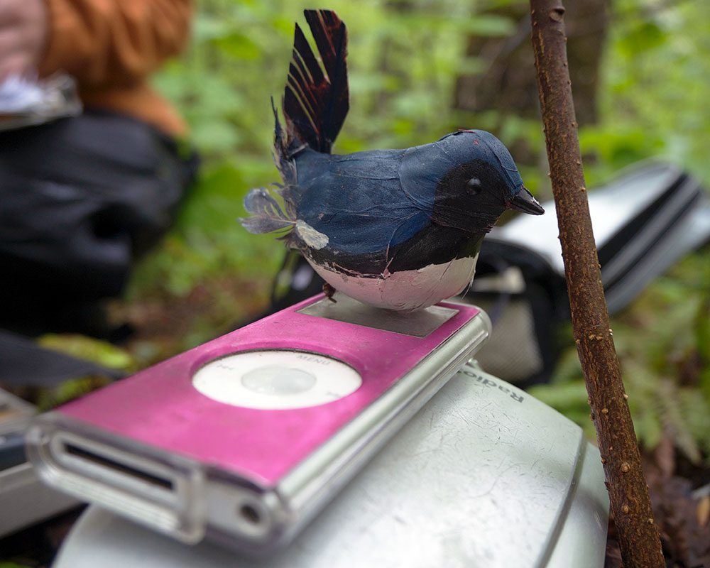 "Kaiser used playback of male Black-throated Blue Warbler songs, along with a ""dummy"" male warbler, to observe how males responded to threats on their territory. Photo by Gustave Axelson."