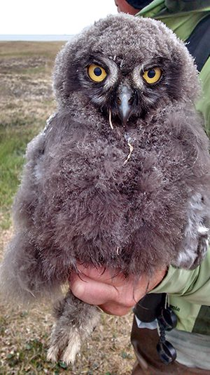 Biologist Denver Holt holds Snowy Owl chick number 788. Photo by Pat Leonard.