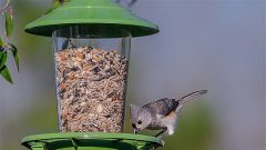 Titmice, like this Tufted Titmouse found in eastern states, often frequent feeders with mixed seed. Photo by Cindy Bryant via Birdshare.