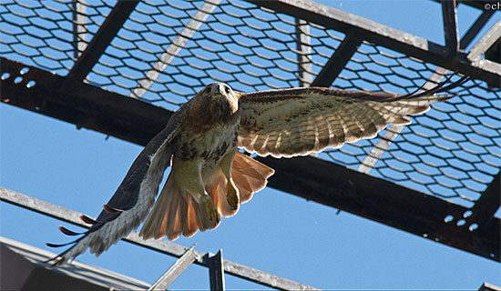 big red female red-tailed hawk of cornell hawks cam