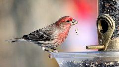 Male House Finch at feeder
