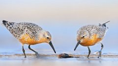 First-Ever World Shorebirds Day Highlights Need for Conservation