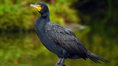 Double-breasted Cormorant by Lorcan Keating via Birdshare