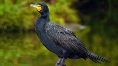 Double-breasted Cormorant by Lorcan Keating via Birdshare
