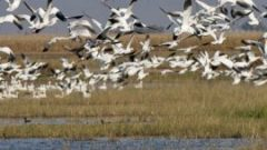 eBirders Help Identify Critical Shorebird Habitat in California's Central Valley