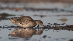 Simple Steps for Identifying Confusing Brown Ducks—Females and Otherwise