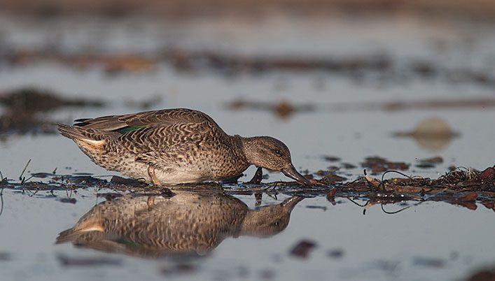 Simple Steps for Identifying Confusing Brown Ducks—Females and