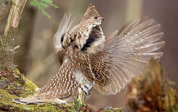 Ruffed Grouse by Marie Read