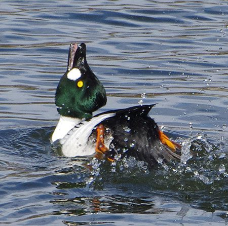 How to Recognize Duck Courtship Displays | All About Birds