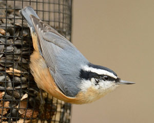 RBNuthatch300-Phil