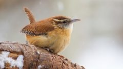 A Carolina Wren on a snowy day. Photo by Mike P via Birdshare.
