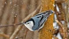 Four Nuthatches, Four Ways to Make It Through a Cold Winter