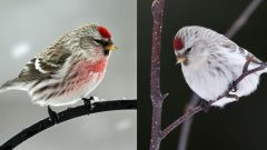 From Many, One: How Many Species of Redpolls Are There?