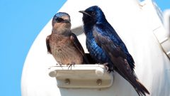 Purple Martins byTravis Bonovsky